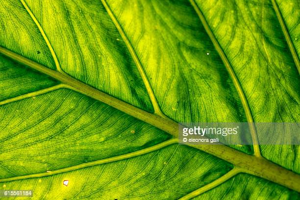 leaf clouse up - chlorophyll stock pictures, royalty-free photos & images