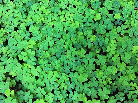4 leaf clover background 922736818