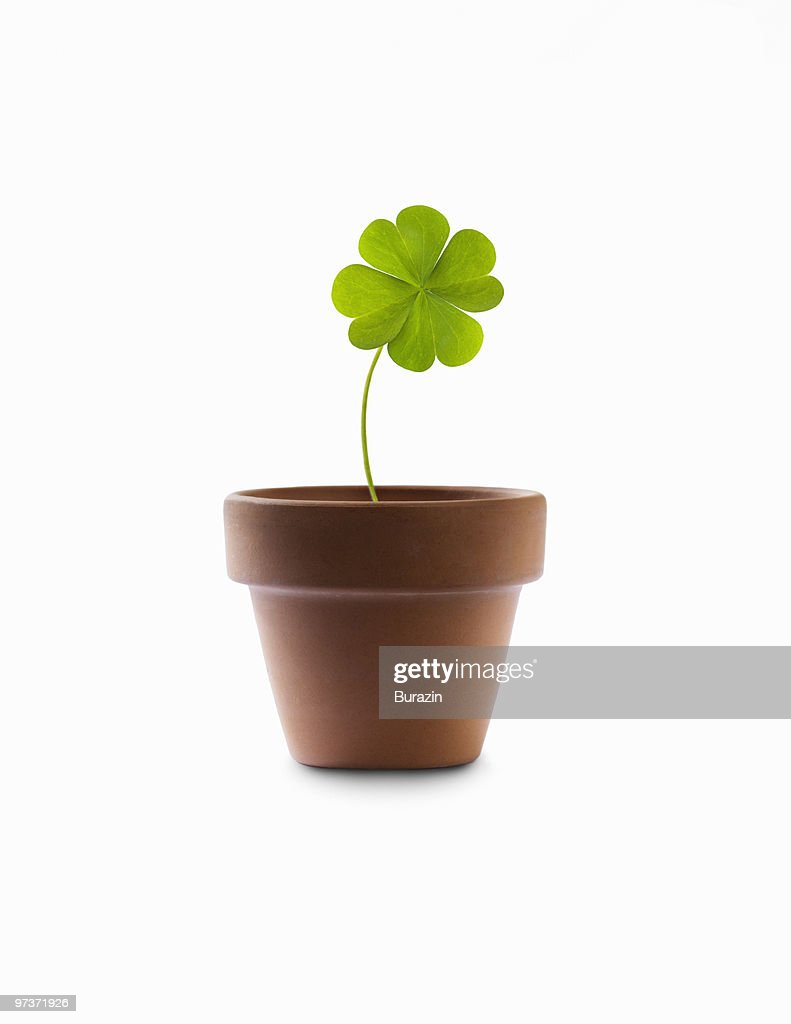 4 leaf clover growing in a flower pot : Stock Photo