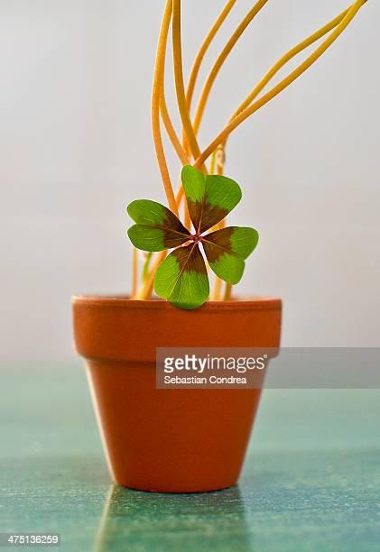 4 leaf clover - 4 leaf clover stock-fotos und bilder