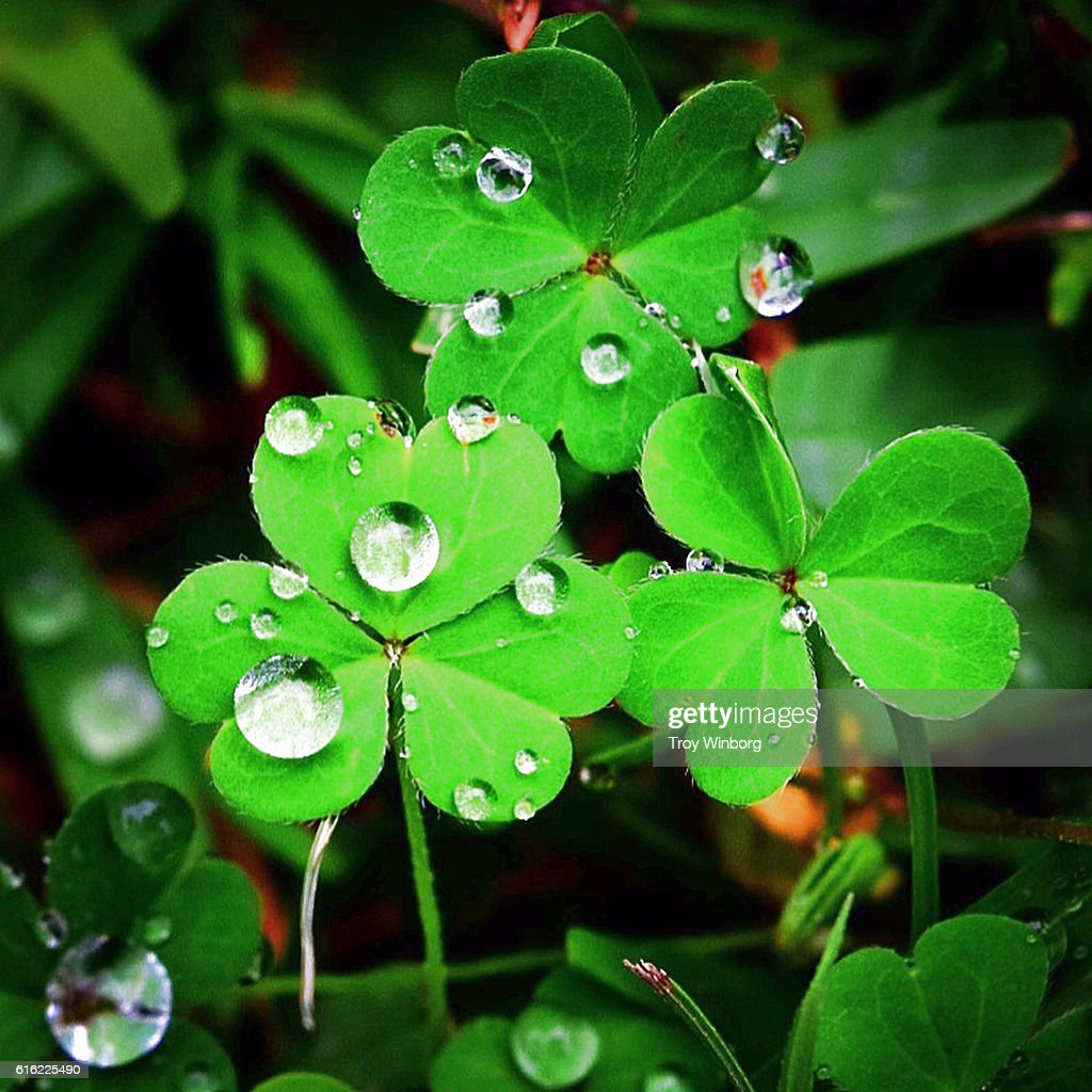 4 leaf clover : Stock Photo