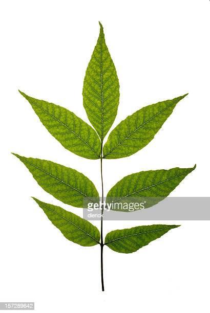 leaf cluster-American ash