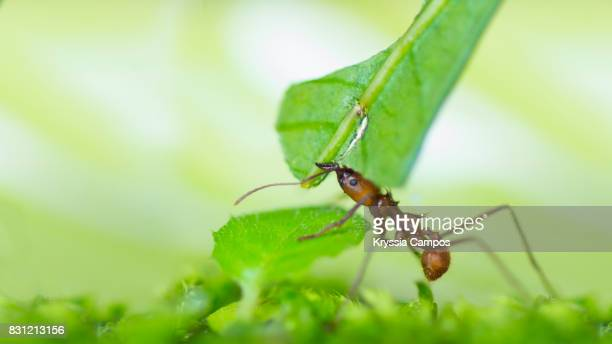Leaf Cutter Ant carrying leaf to its nest, Costa Rica