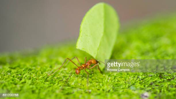 Leaf Cutter Ant (Atta cephalotes) Carrying Piece of Leaf