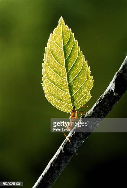 Leaf cutter ant (Atta. cephalotes) on branch, carrying leaf, close-up