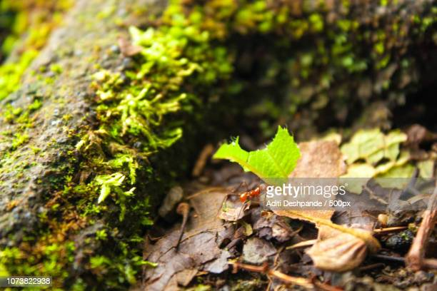 Leaf cutter ant (of )