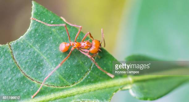 A leaf cutter ant trims off part of a leaf to take to its nest