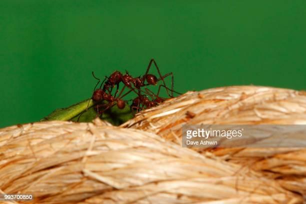 leaf cutter ants atta