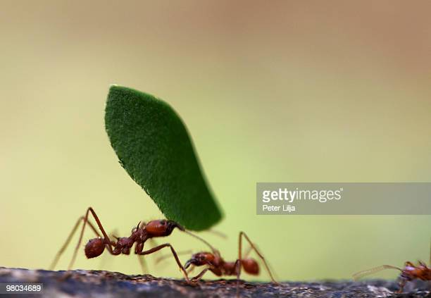 Leaf Cutter Ants (Atta sp.) carrying leaves