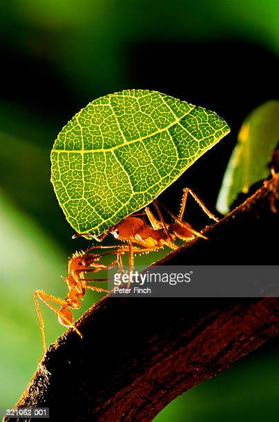 Leaf cutter ants (Atta sp.) carrying section of leaf