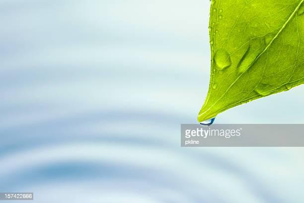 Leaf dripping water