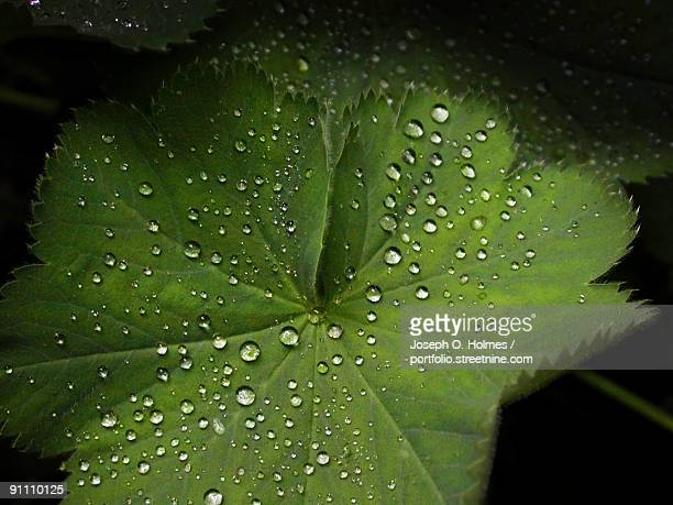 leaf droplets - joseph o. holmes stock pictures, royalty-free photos & images