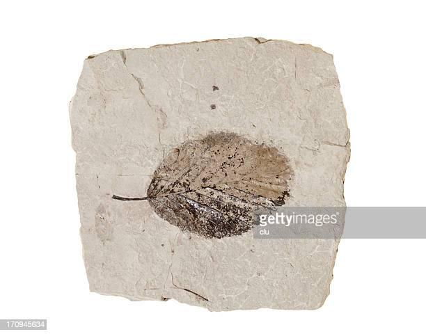 Folha de fossil sobre fundo branco