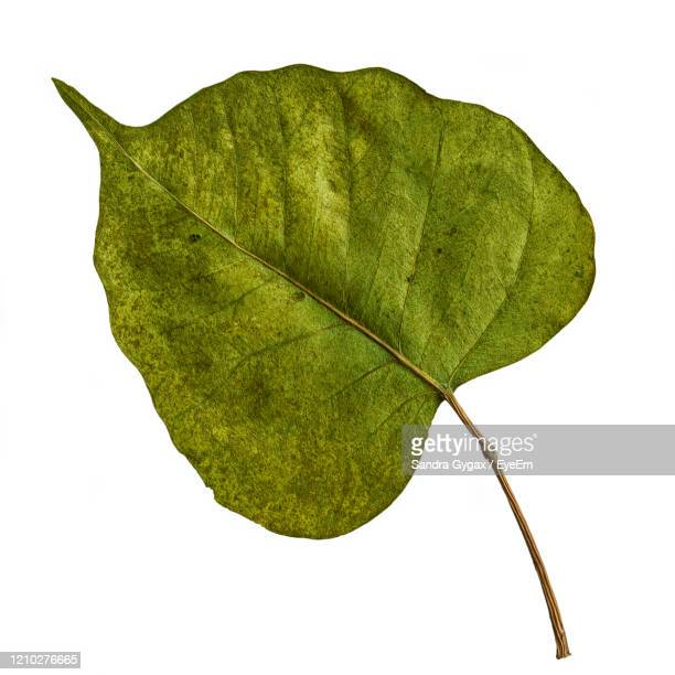 leaf from the bodhi tree in bodh gaya - sandra gygax stock-fotos und bilder