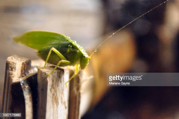 leaf grasshopper with water droplets - grasshopper stock pictures, royalty-free photos & images