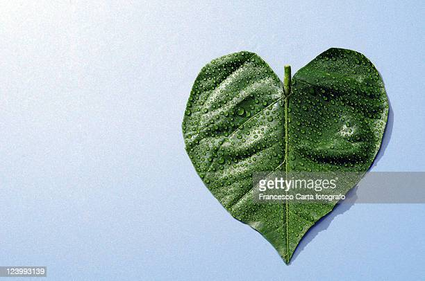 leaf heart-shaped - tempio pausania stock pictures, royalty-free photos & images
