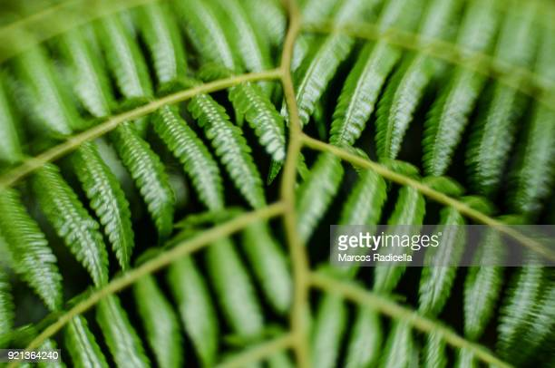 leaf in brasil tropical forest - radicella stock pictures, royalty-free photos & images