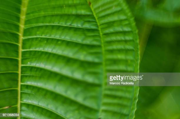 leaf in brasil tropical forest - radicella stock photos and pictures