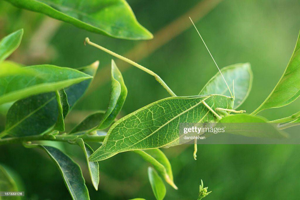 Leaf Insect : Stock Photo