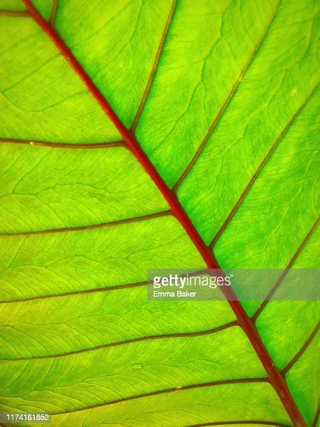 leaf lit up - emma baker stock pictures, royalty-free photos & images