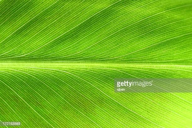 leaf macro 3 - banana tree stock pictures, royalty-free photos & images
