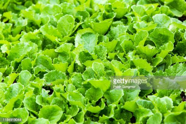 leaf mustard greens grow a vegetable garden at village in rilong town - leaf vegetable stock pictures, royalty-free photos & images