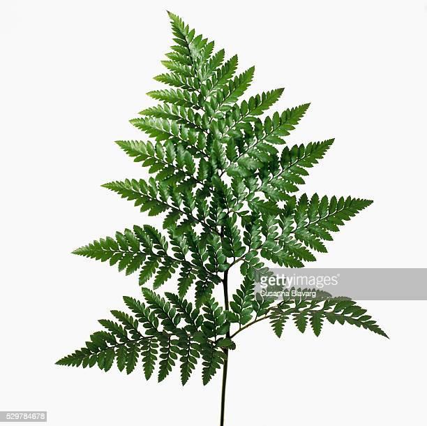 A leaf of a fern