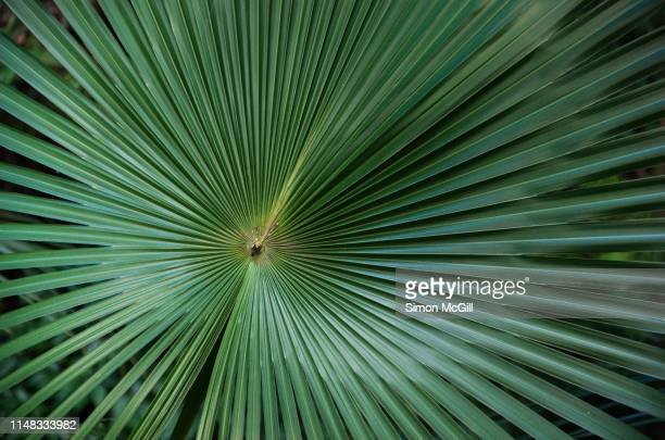 leaf of australian cabbage tree palm (livistona australis) - radial symmetry stock pictures, royalty-free photos & images
