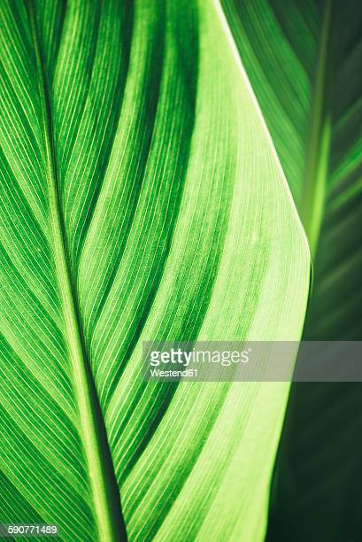 Leaf of banana plant, Musaceae, close up