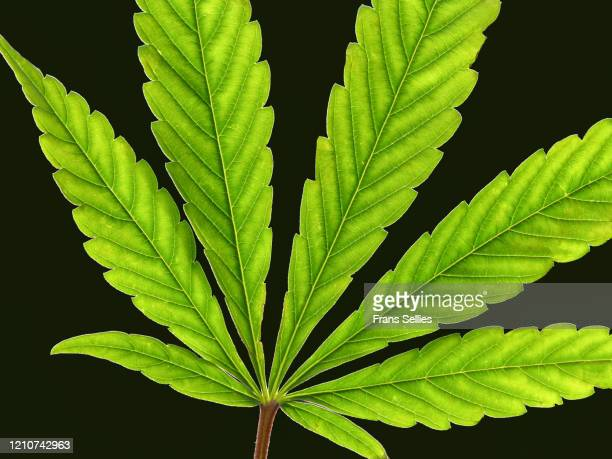 leaf of cannabis sativa - marijuana leaf stock pictures, royalty-free photos & images