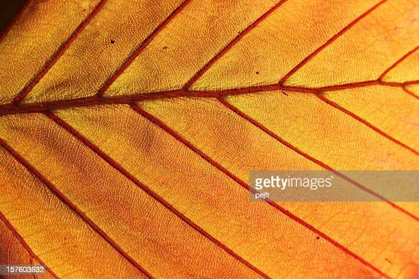 Leaf of Copper beech in the spring background full frame