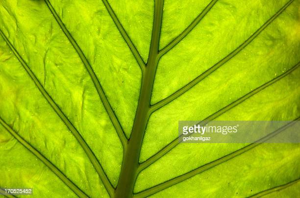 leaf of cymbling, backlighted
