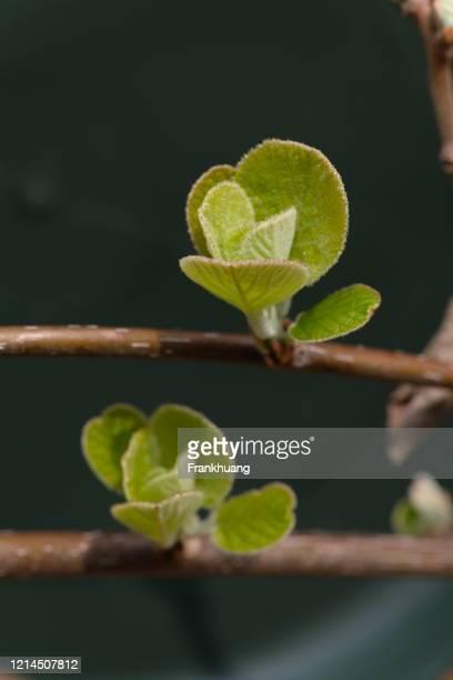 leaf kiwifruit