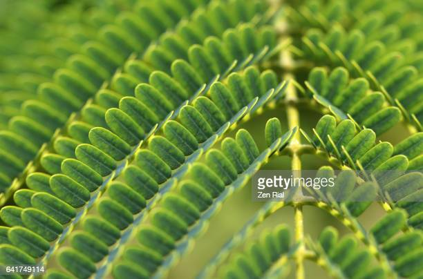 leaf of royal ponciana - flamboyant - flame tree - delonix regia - fabaceae - caesalpinioideae close-up - stuart florida stock pictures, royalty-free photos & images