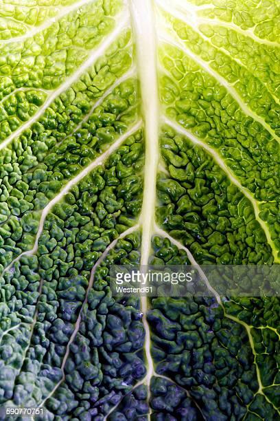 Leaf of savoy, close-up