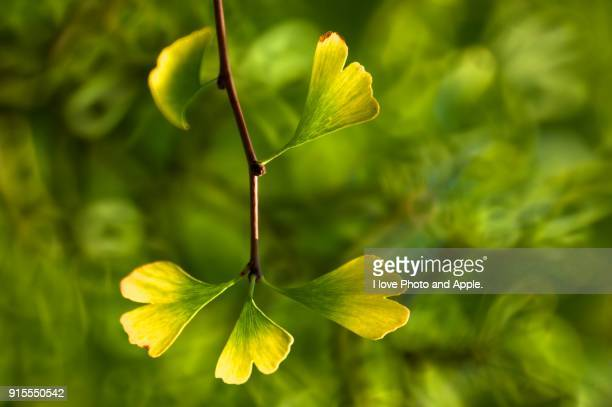leaf of the ginkgo - ginkgo tree stock pictures, royalty-free photos & images