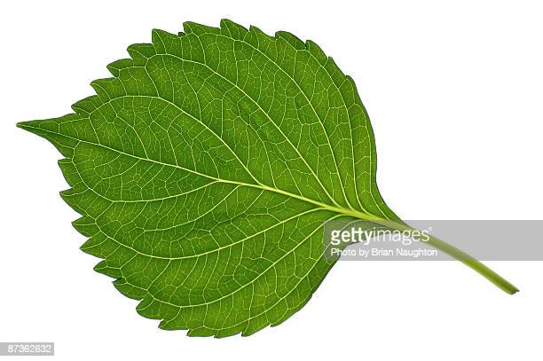 leaf on lightbox - single object stock pictures, royalty-free photos & images