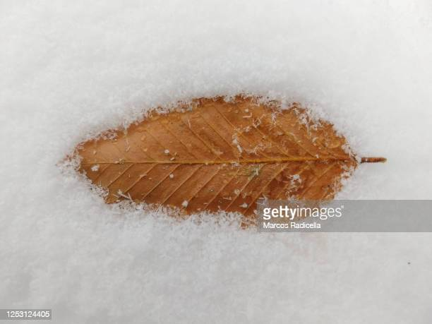 leaf over snow - radicella stock pictures, royalty-free photos & images