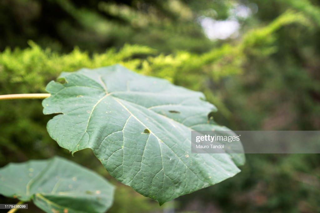 Leaf : Foto stock