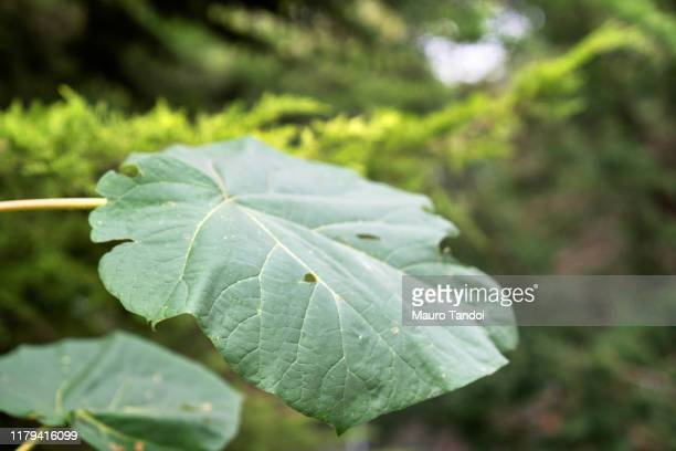 leaf - mauro tandoi stock photos and pictures
