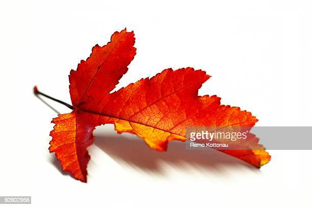 leaf - autumn leaf color stock pictures, royalty-free photos & images