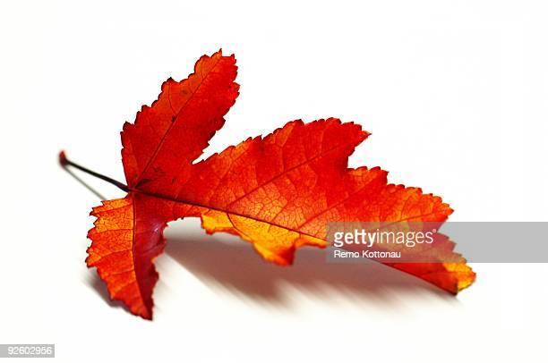 leaf - foglia di acero foto e immagini stock