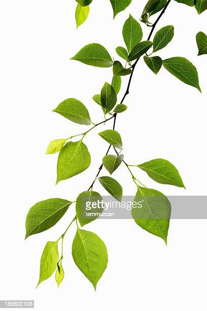 leaf series - branch stock pictures, royalty-free photos & images