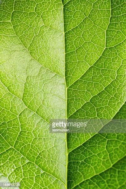 leaf series - bladnerf stockfoto's en -beelden