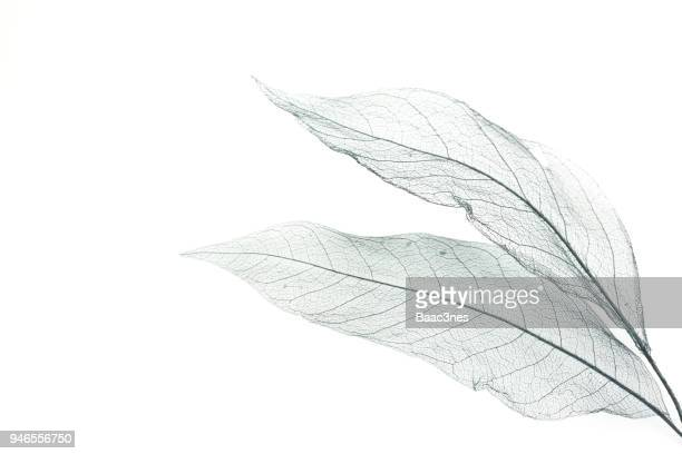Leaf skeleton on a white table.