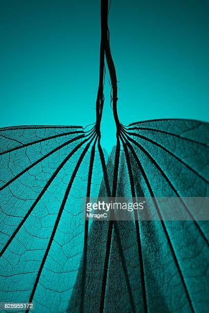 Leaf Skeleton on Cyan Background