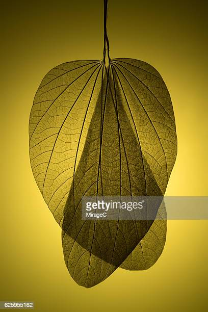 Leaf Skeleton on Yellow Background