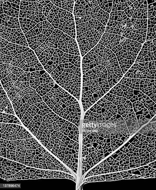 leaf skeleton - bladnerf stockfoto's en -beelden
