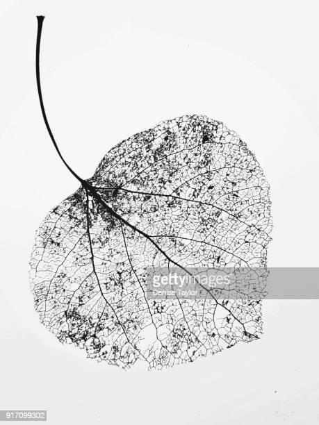 leaf skeleton - dead rotten fotografías e imágenes de stock