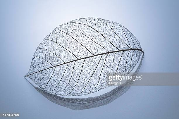 Leaf Skeleton with Reflection